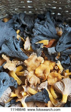 Stock Images of Freshly Foraged Black Trumpets and Yellow Foot.