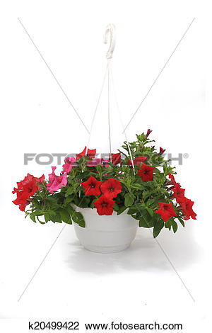 Stock Photo of Petunia is a trumpet shaped k20499422.