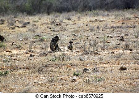 Stock Images of Savanna baboons at Tsavo East Park in Kenya.