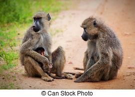 Stock Photographs of The vervet monkeys, Tsavo West, Kenya, Africa.