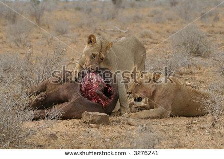 Tsavo Lions Buffalo Kill Feast Stock Photo 3276241.
