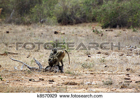 Stock Photograph of Savanna baboons at Tsavo East k8570929.