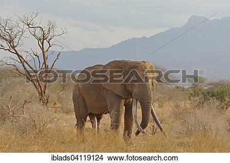 Stock Photo of African Elephant (Loxodonta africana), bull, Tsavo.