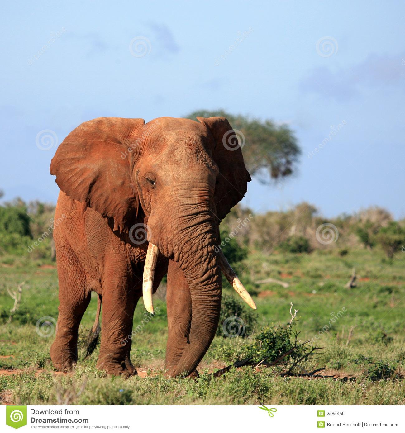 Red Elephant Tsavo East Kenya Stock Photo.