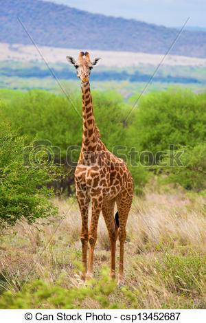 Pictures of Giraffe on savanna. Safari in Tsavo West, Kenya.