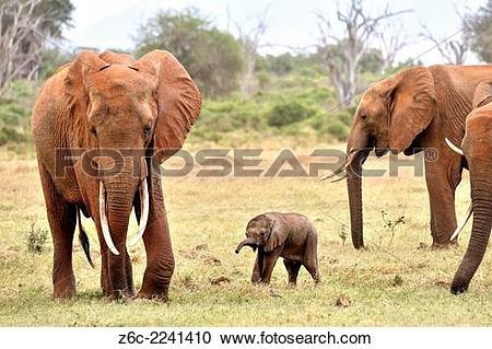Stock Photography of Very young Elephant Baby, loxodonta africana.