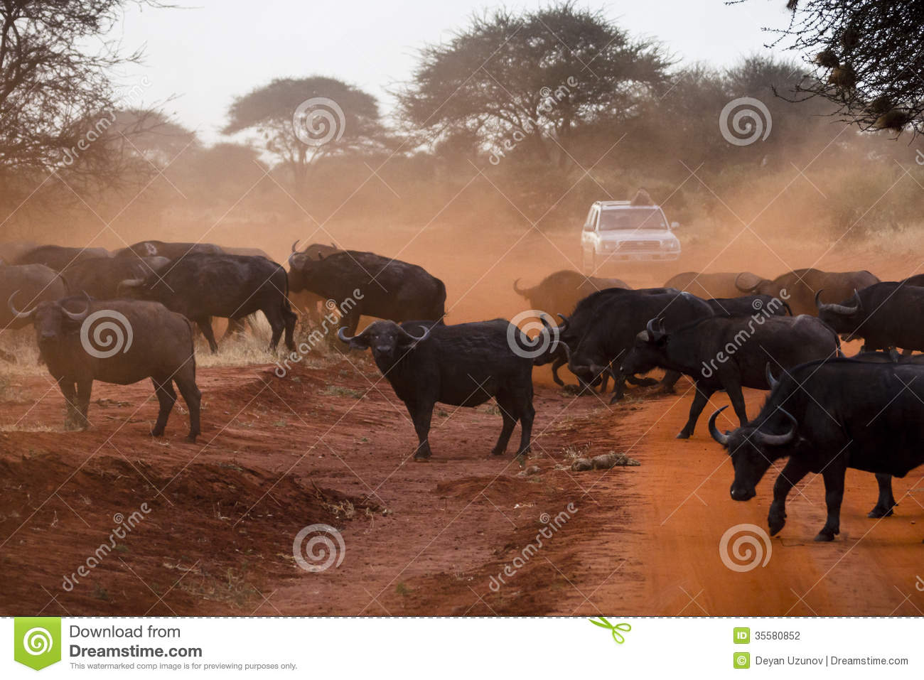 Buffaloes Stock Photography.