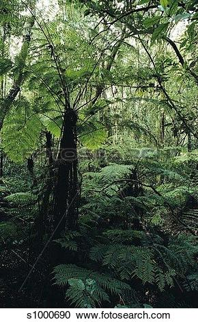 Stock Photography of Tree Ferns in Tsitsikamma Forest, South.