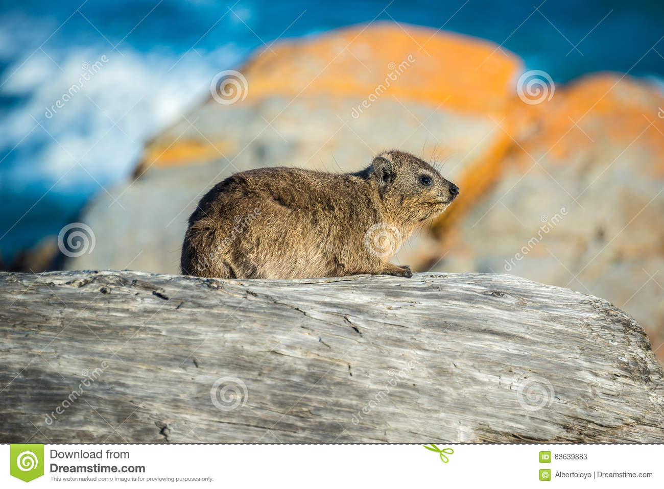A Rock Hyrax Or Dassie In Tsitsikamma National Park, South Africa.