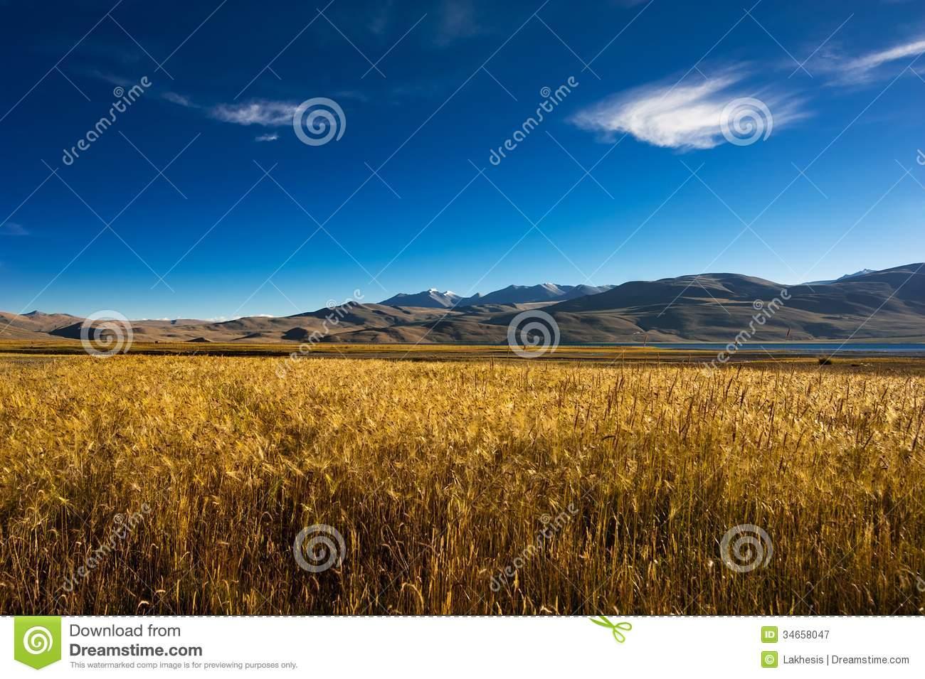 Barley Field At Tso Moriri Lake. India, Ladakh Royalty Free Stock.
