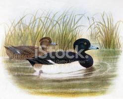 Tufted Duck Illustration stock vectors.