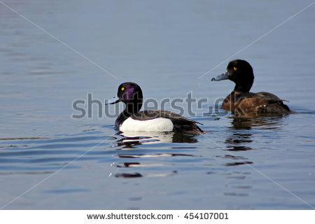 Tufted Duck Stock Photos, Royalty.