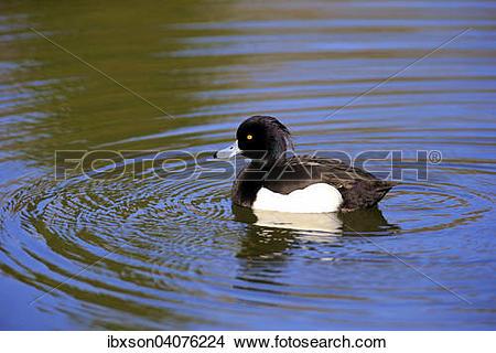 "Stock Photo of ""Tufted Duck (Aythya fuligula), drake, adult, on."