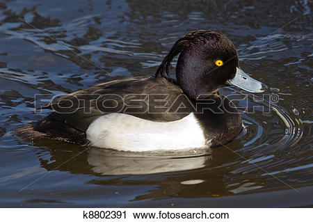 Stock Photography of Male Tufted duck swimming k8802391.