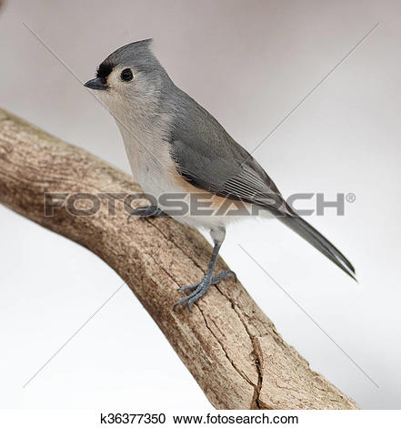 Stock Photography of Tufted Titmouse on a Natural Rotted Wood.