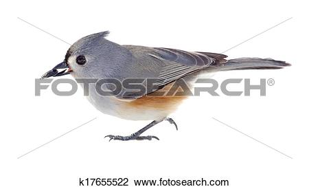 Stock Photo of Tufted Titmouse Isolated k17655522.