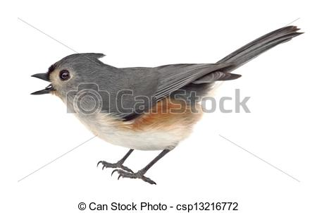 Picture of Tufted Titmouse Isolated.