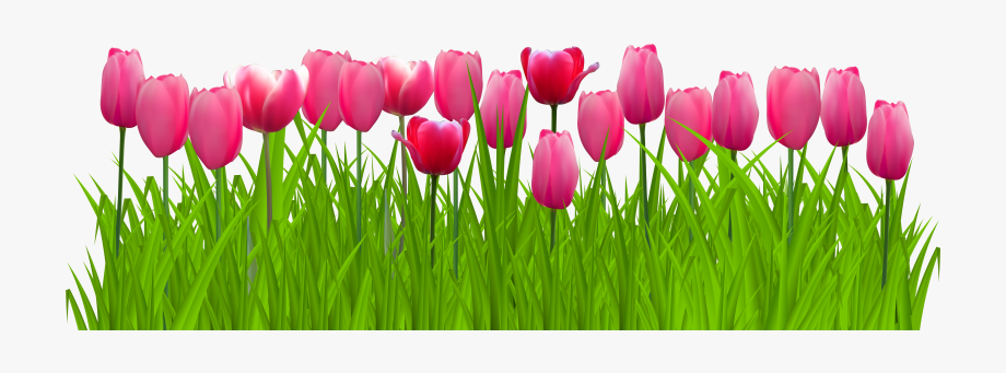 Tulip Flower Free Png Transparent Images Free Download.