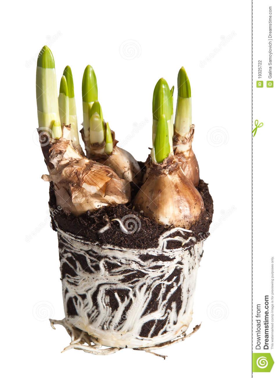 Tulip Bulbs Stock Photography.