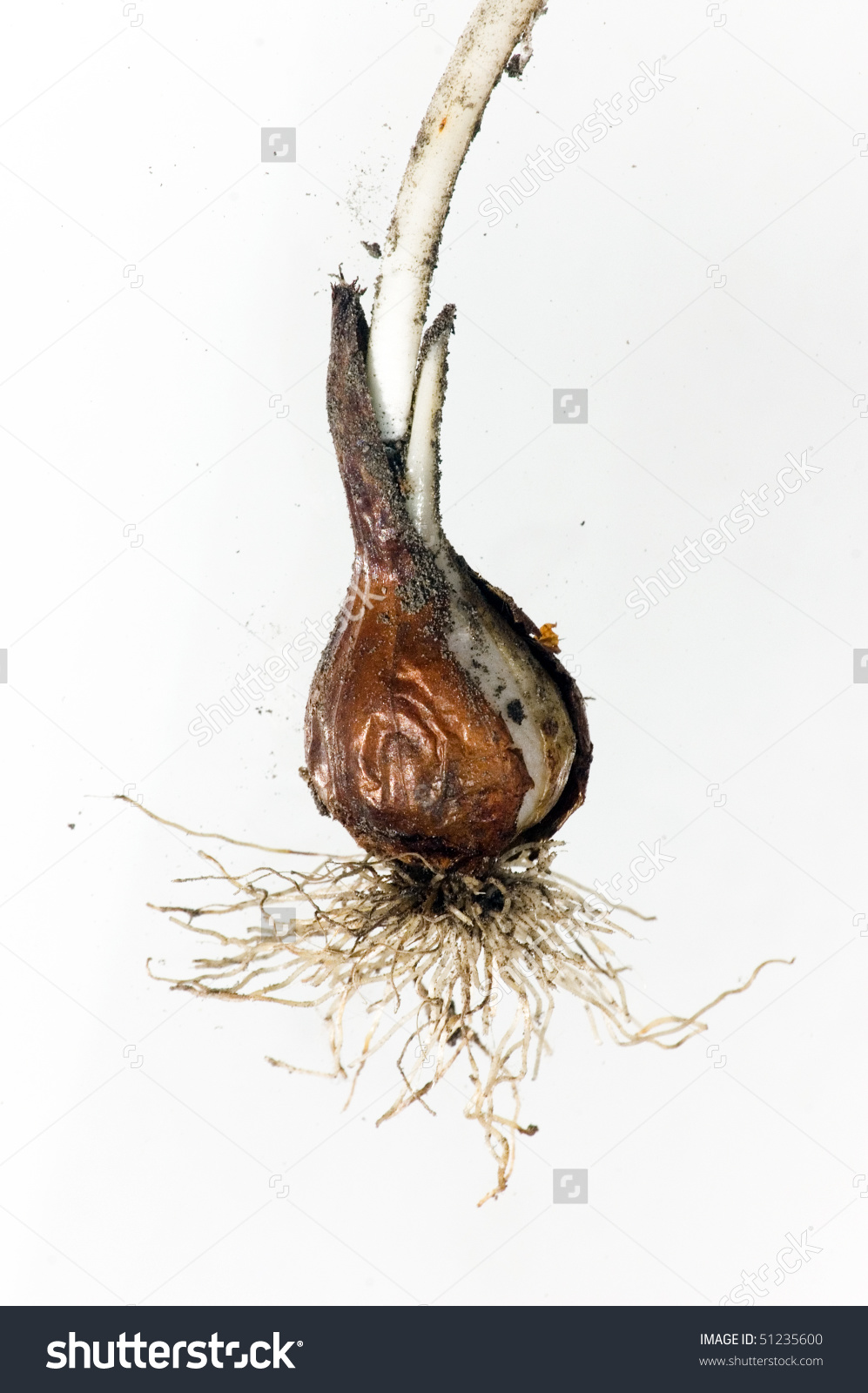 Tulip Bulb Root Isolated Object Stock Photo 51235600.