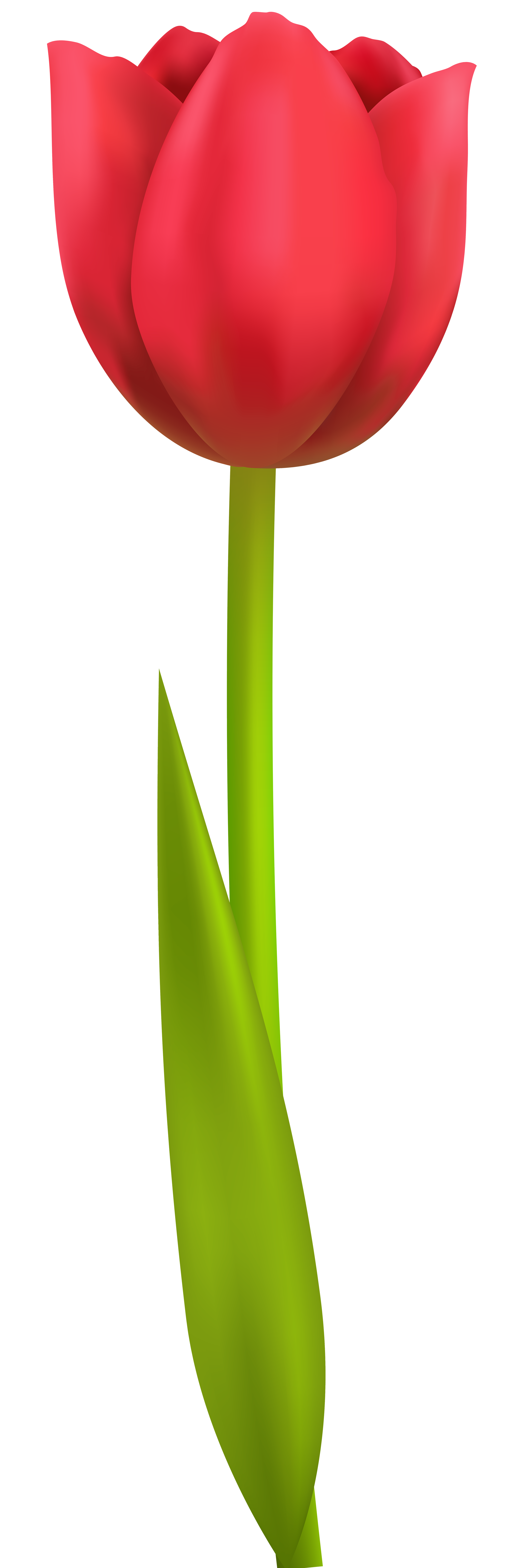 Tulip Clipart Png.