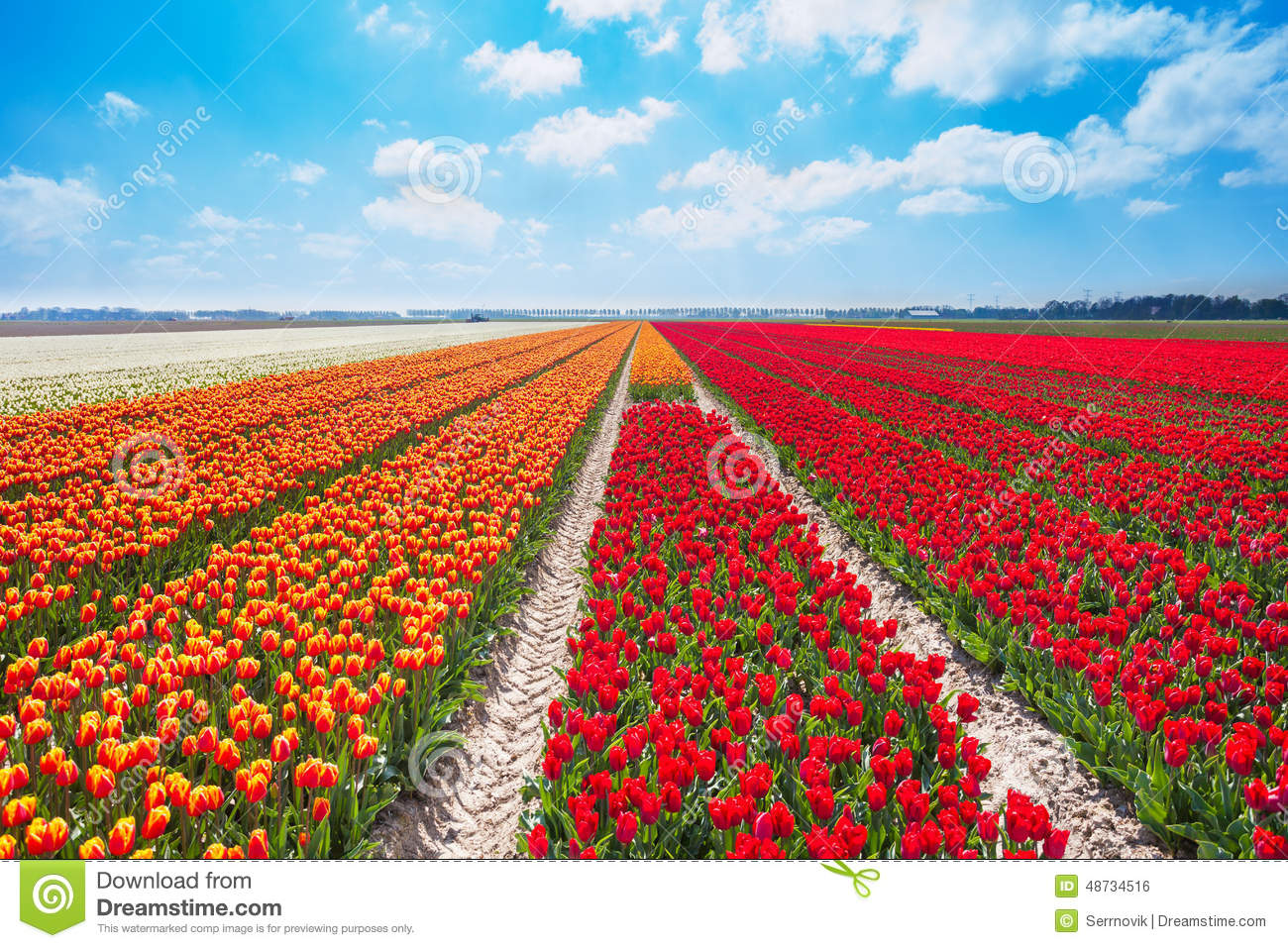 Beautiful Rows Of Red And Orange Tulip Field Stock Photo.