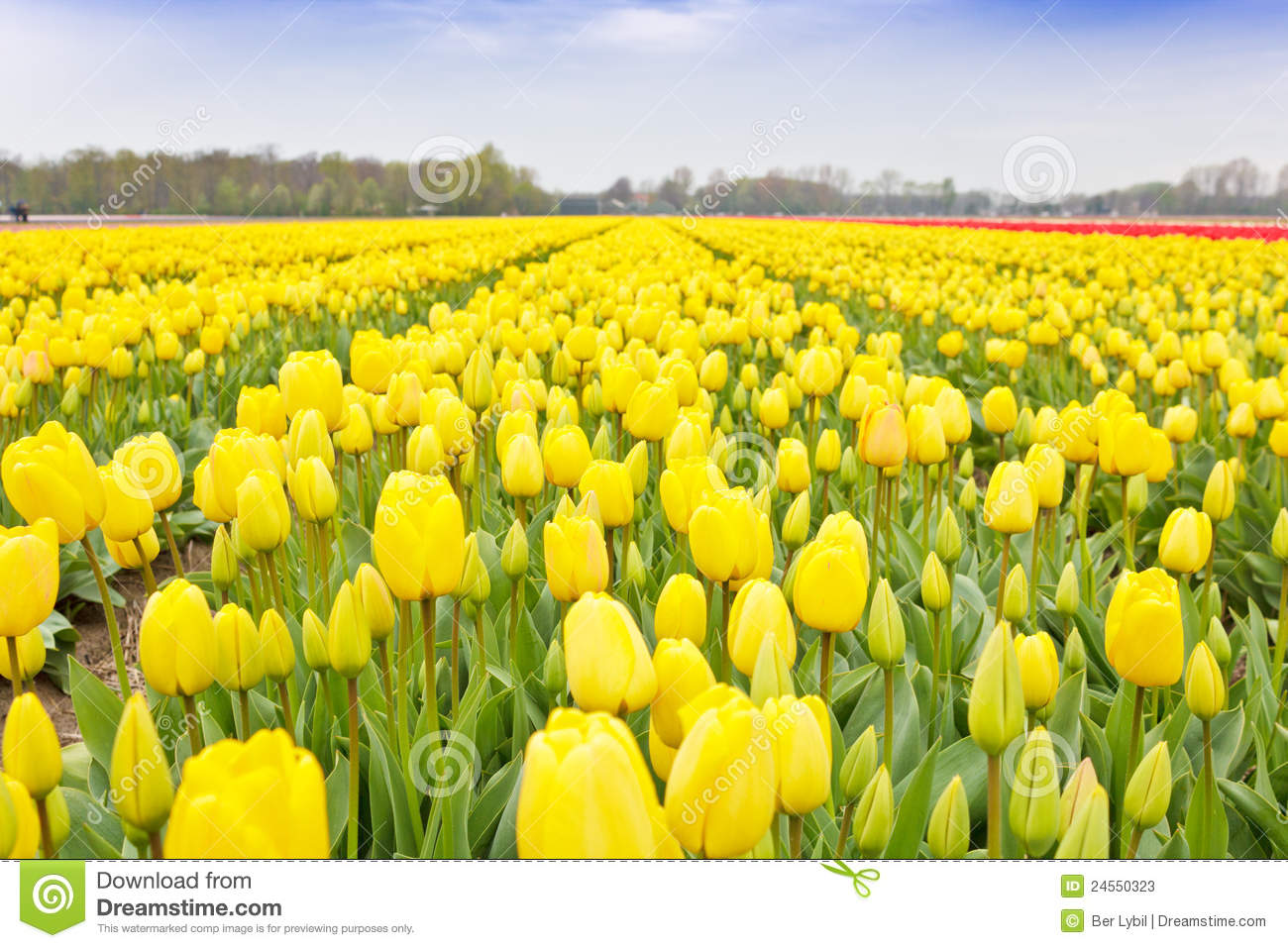 Yellow Tulips Field Royalty Free Stock Photography.