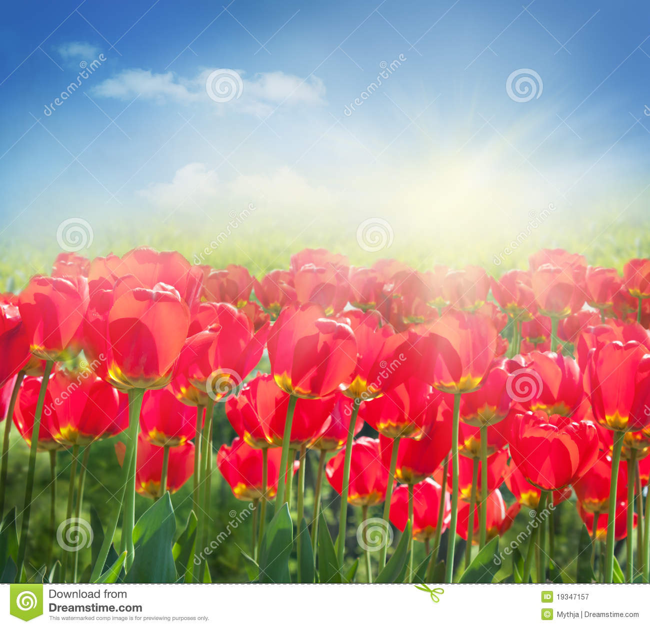 Red Tulip Field Royalty Free Stock Photography.