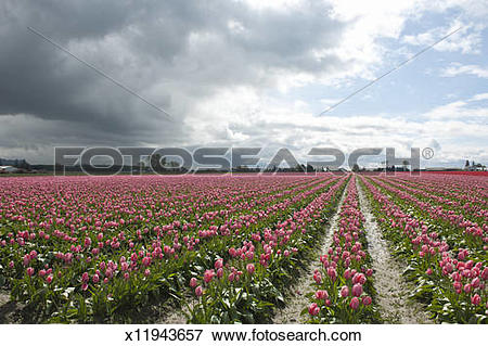 Picture of Storm clouds over tulip fields x11943657.