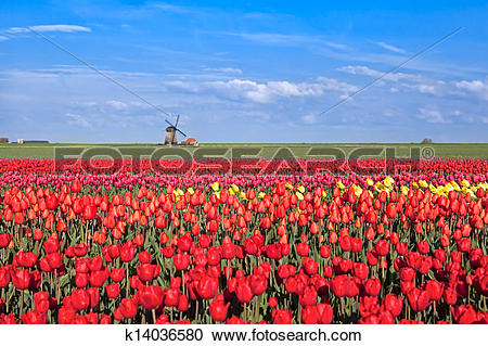 Stock Photography of red, pink, yellow tulip fields and windmill.