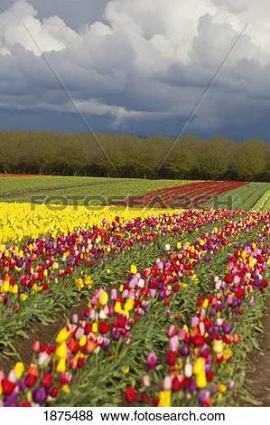 Pictures of woodburn, oregon, united states of america; tulip.