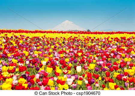 Stock Photography of Tulip fields, snow.