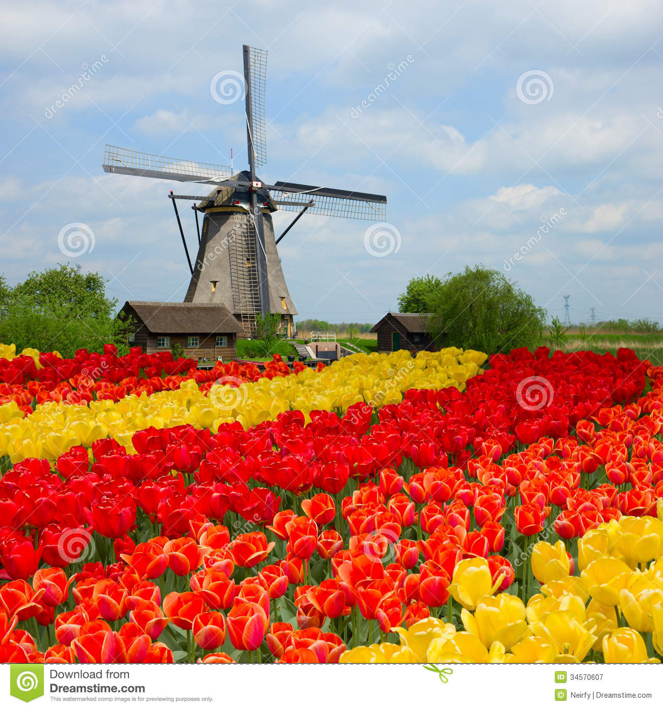 Netherlands Tulips Stock Photos, Images, & Pictures.