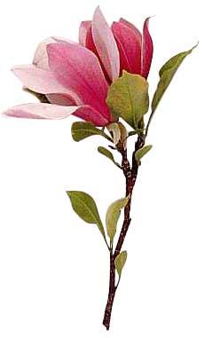 Magnolia Flower Clip Art Free.