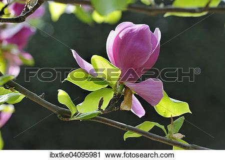 Stock Photography of Blossom of the tulip magnolia (Magnolia x.