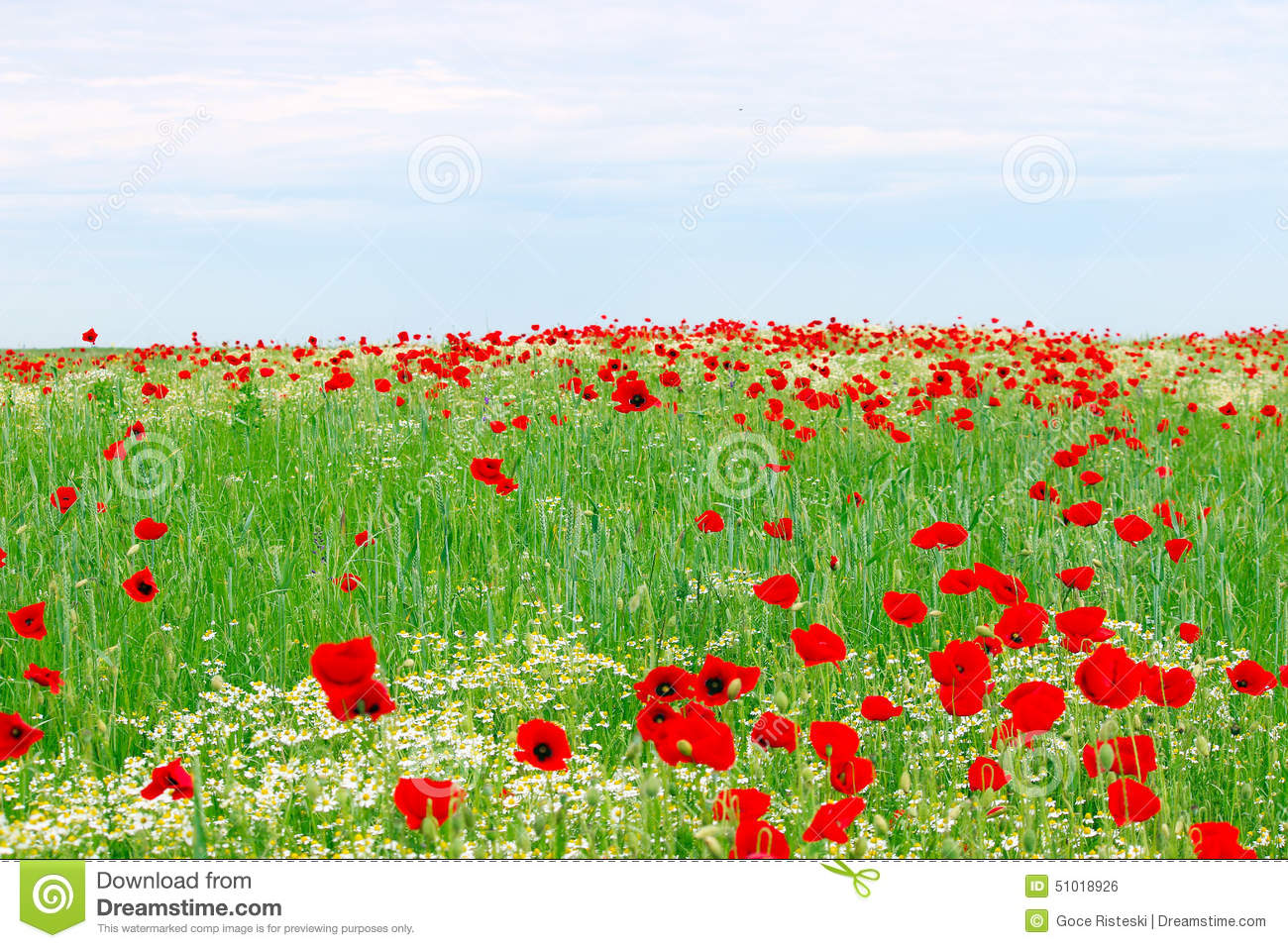 Red Poppies Flower Meadow And Blue Sky Stock Photo.
