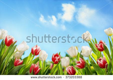 Tulip Flower Stock Photos, Royalty.