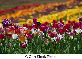 Tulip meadow Stock Photos and Images. 8,258 Tulip meadow pictures.