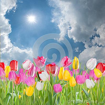 Tulip Meadow Stock Photo.