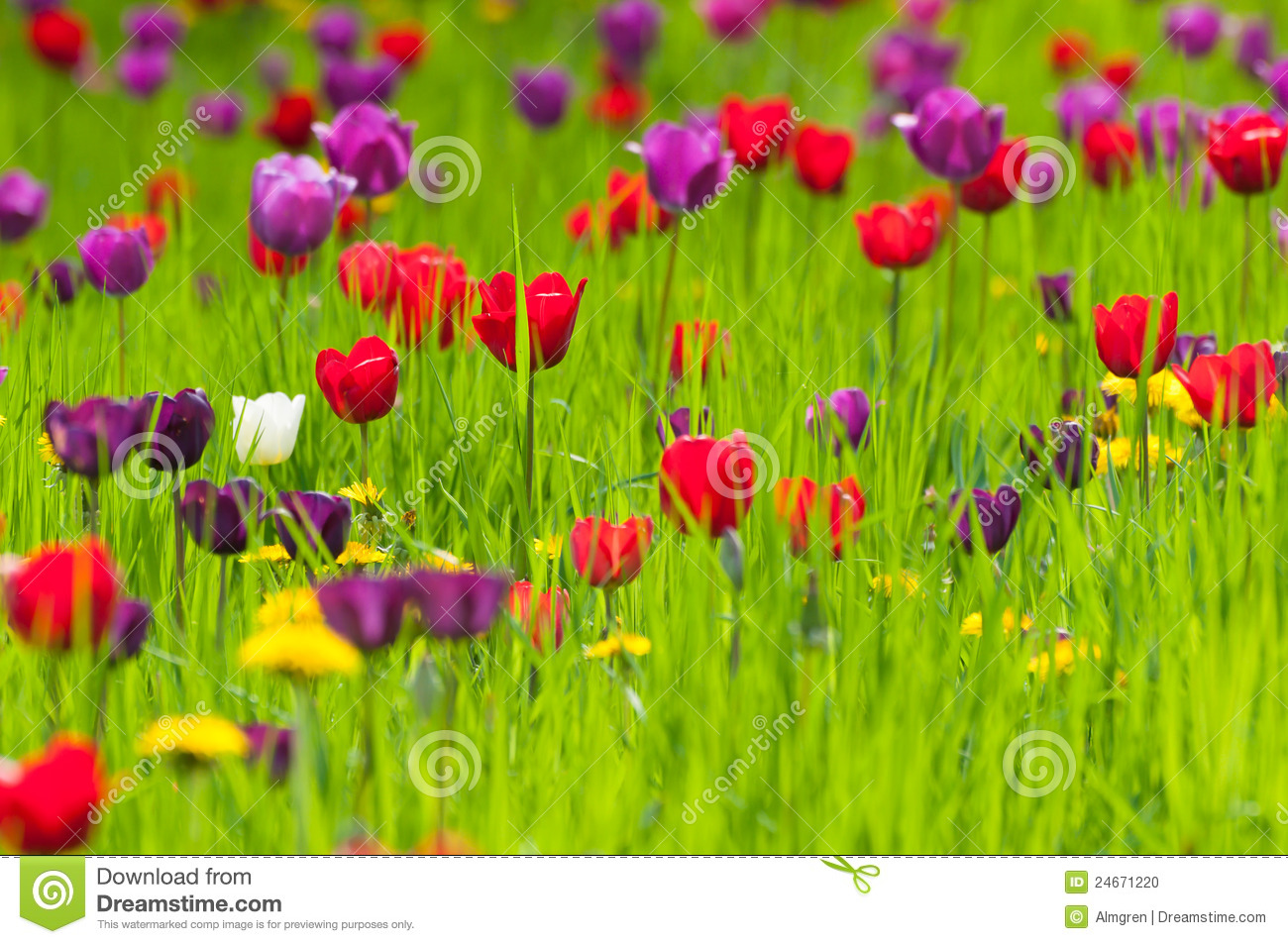 Different Colored Tulips On A Meadow Stock Photo.
