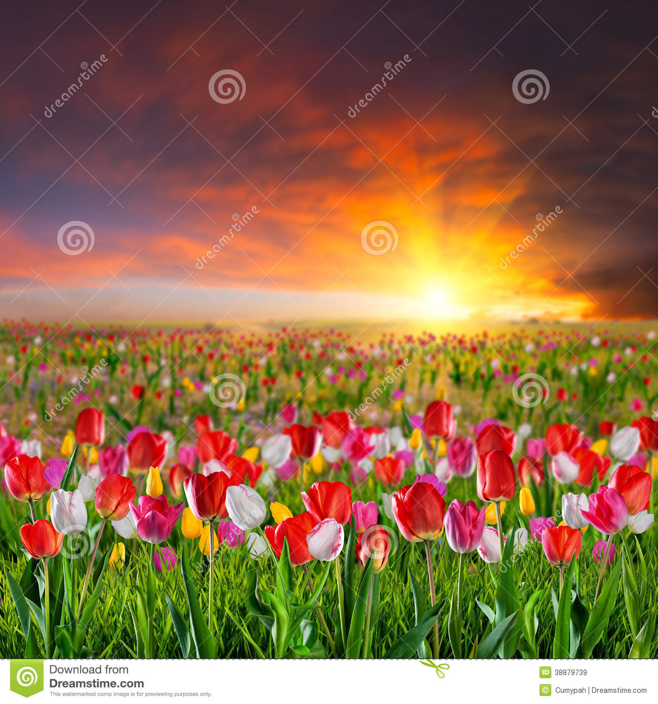 Large Tulip Flower Meadow Stock Photo.