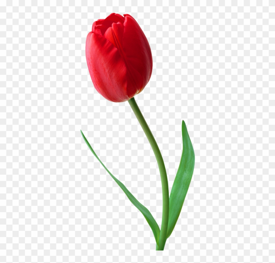Large Png Red Tulip Clipart.