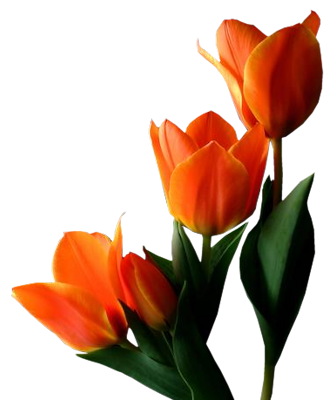 Tulip PNG images free download.