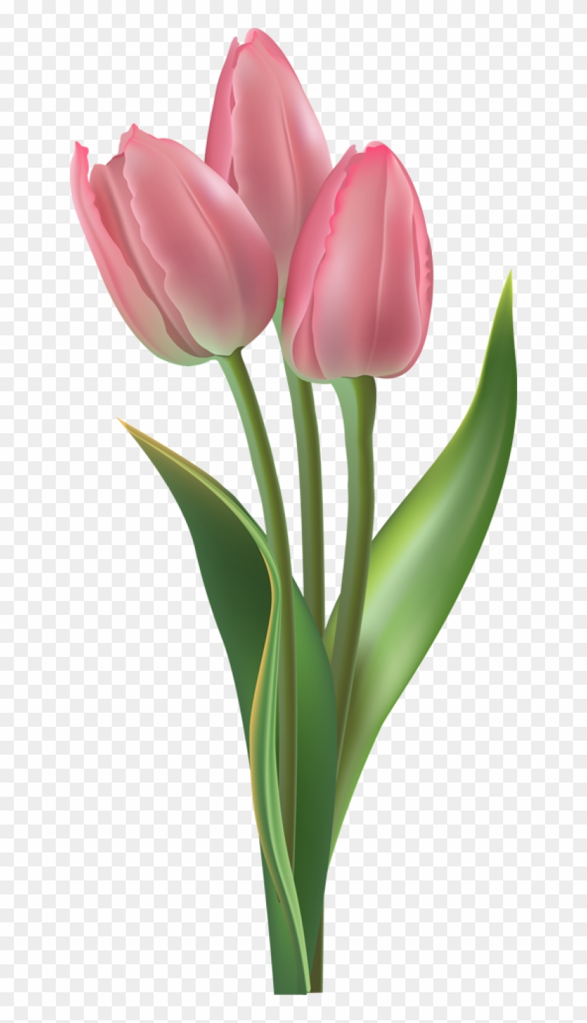 Tulip Transparent Background Png.