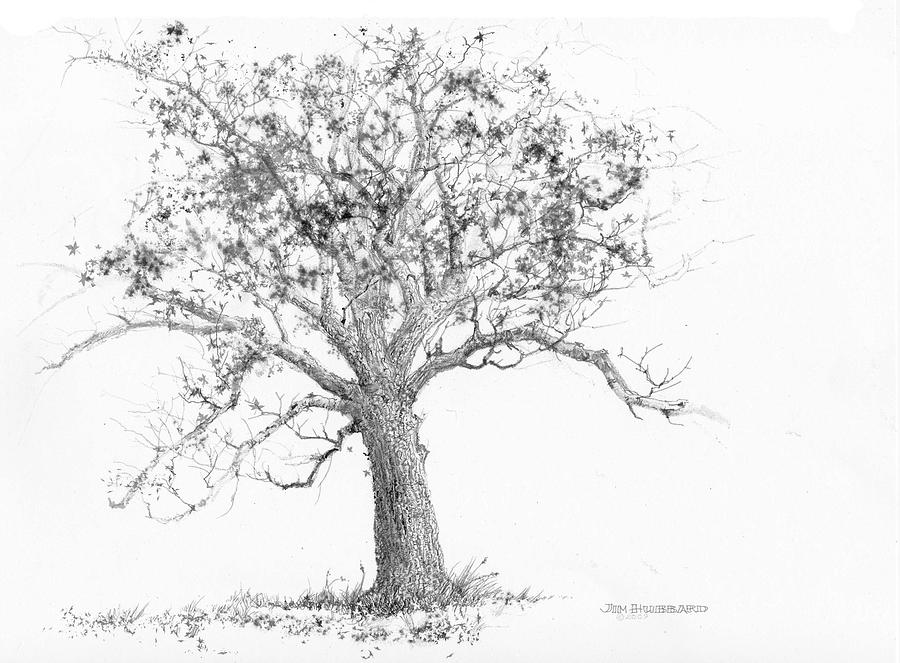 Tennessee State Tree Tulip Poplar Coloring Page.
