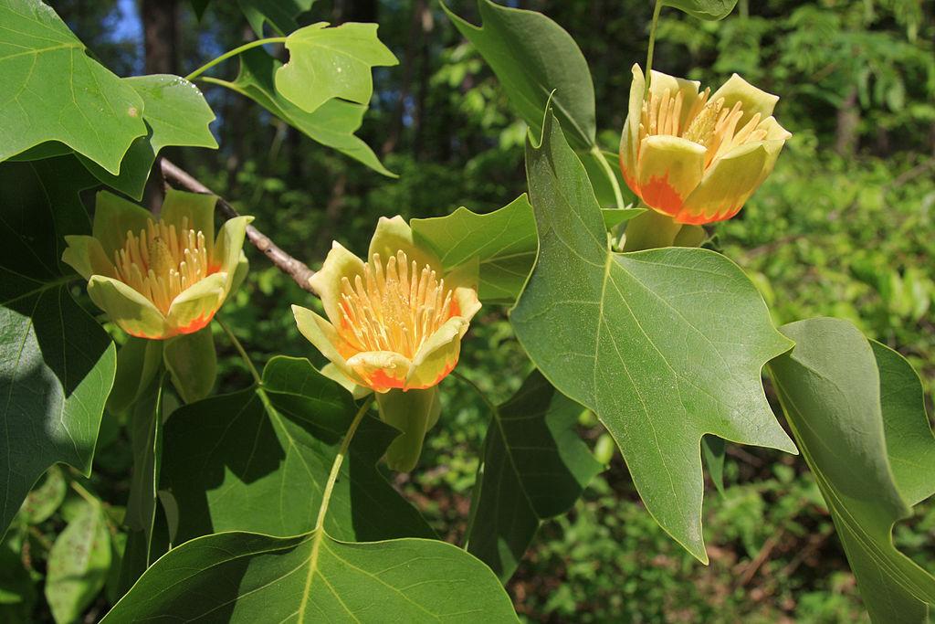 Watch more like American Native Tulip Tree.