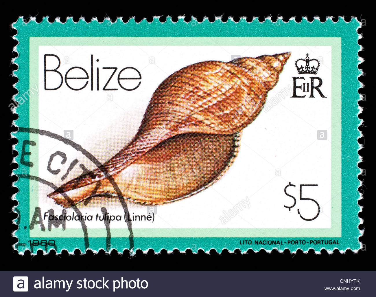 Postage Stamp From Belize Depicting A True Tulip Sea Snail Stock.