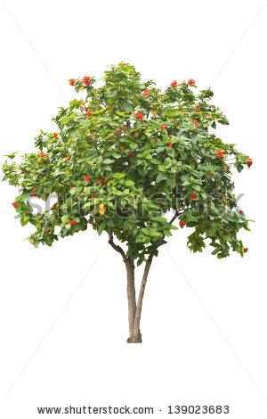 Mandarin Tree Stock Vector 97248110.