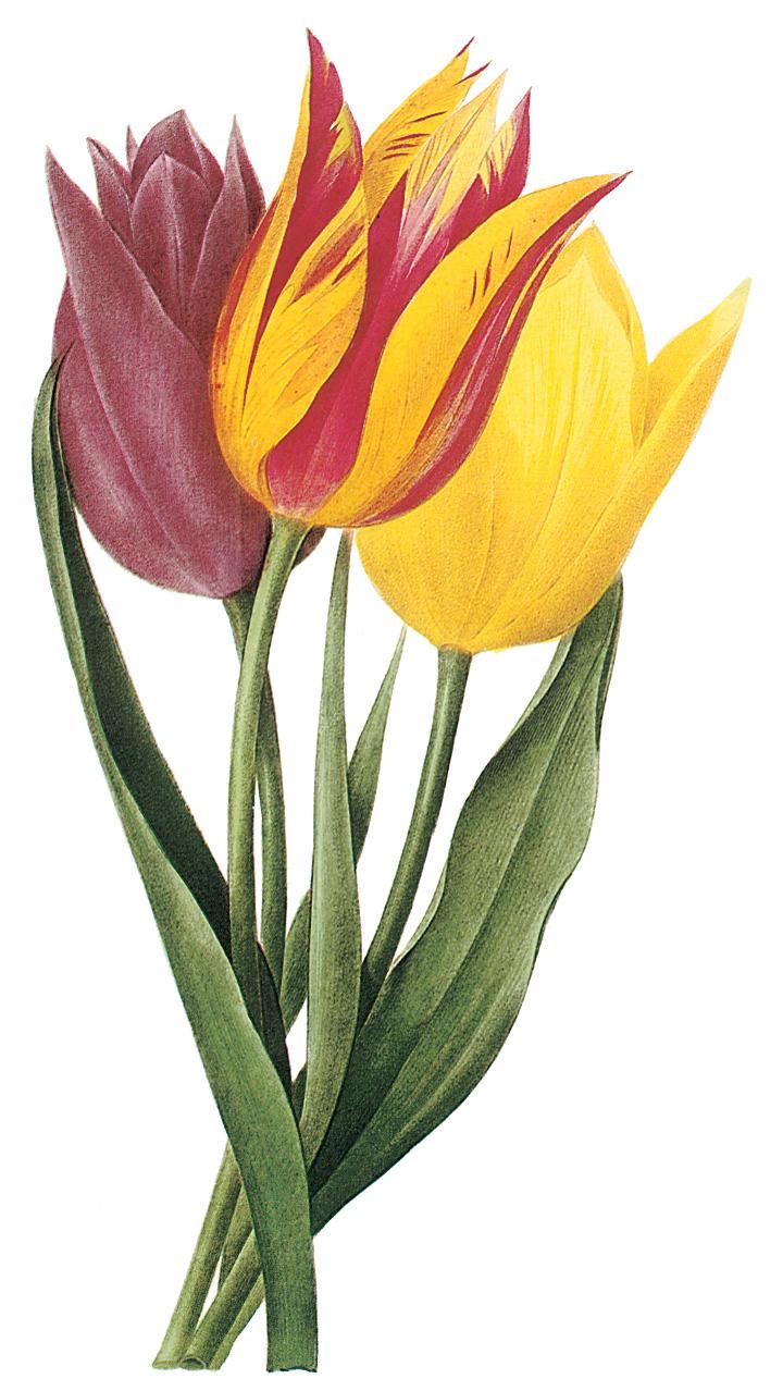 Tulipa clipart - Clipground Tulips Border Clipart