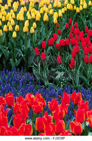 Tulpen Holland Stock Photos & Tulpen Holland Stock Images.